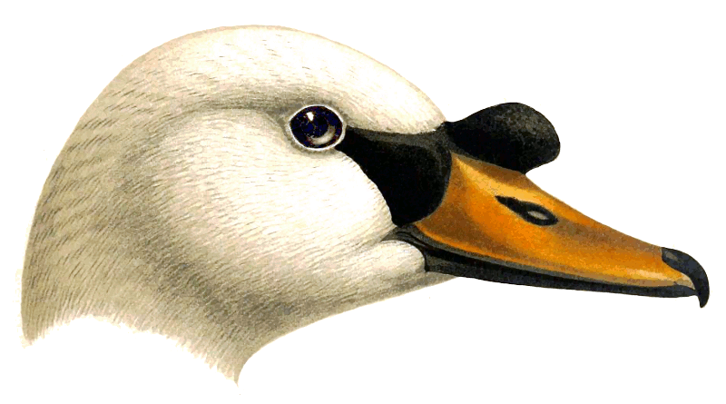 Mute Swan clipart #2, Download drawings