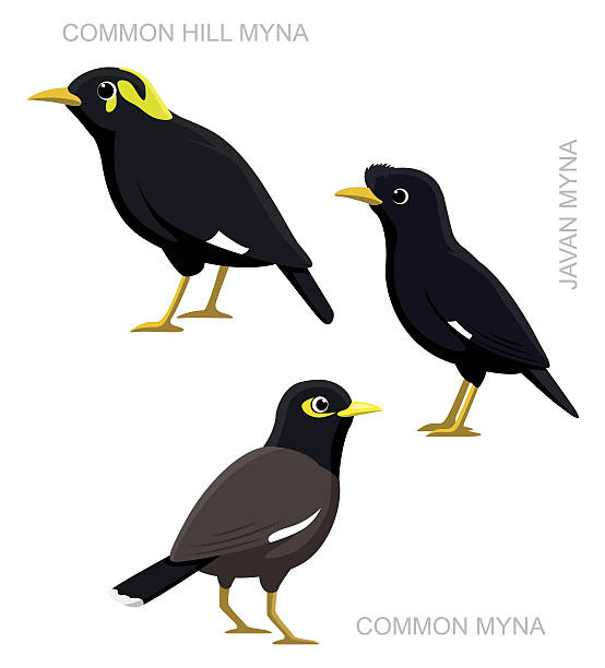Myna clipart #10, Download drawings
