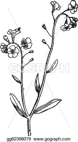 Myosotis clipart #7, Download drawings