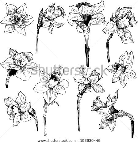 Narcisse clipart #3, Download drawings