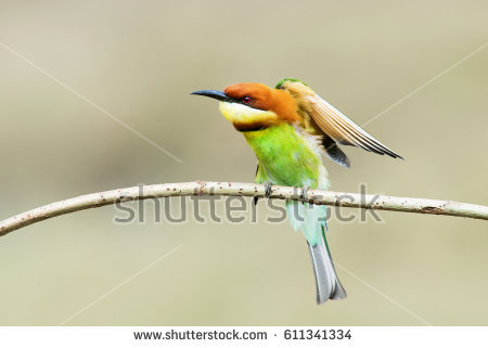 Near Passerine clipart #11, Download drawings