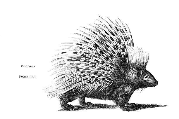 New World Porcupine clipart #16, Download drawings