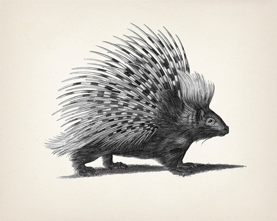 New World Porcupine coloring #7, Download drawings