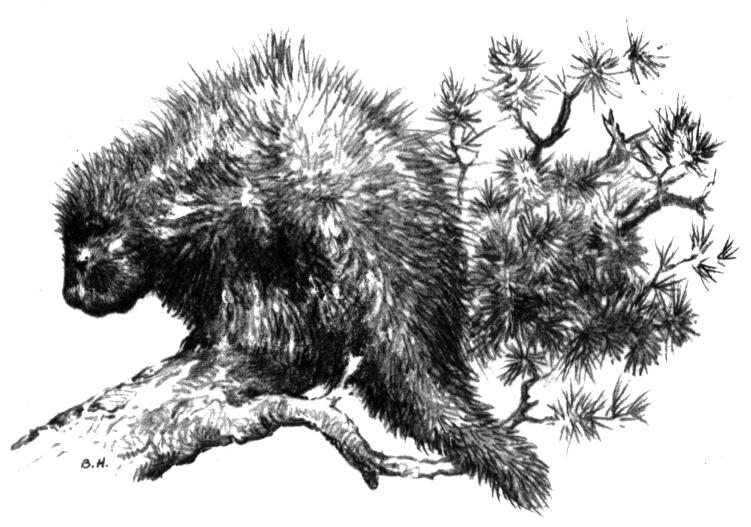 New World Porcupine coloring #20, Download drawings