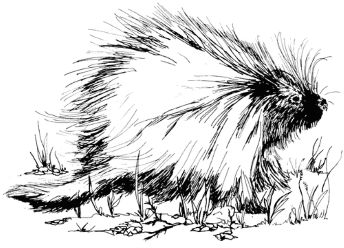 New World Porcupine coloring #15, Download drawings