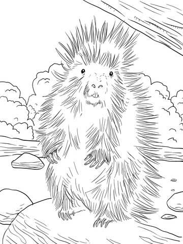 New World Porcupine coloring #17, Download drawings