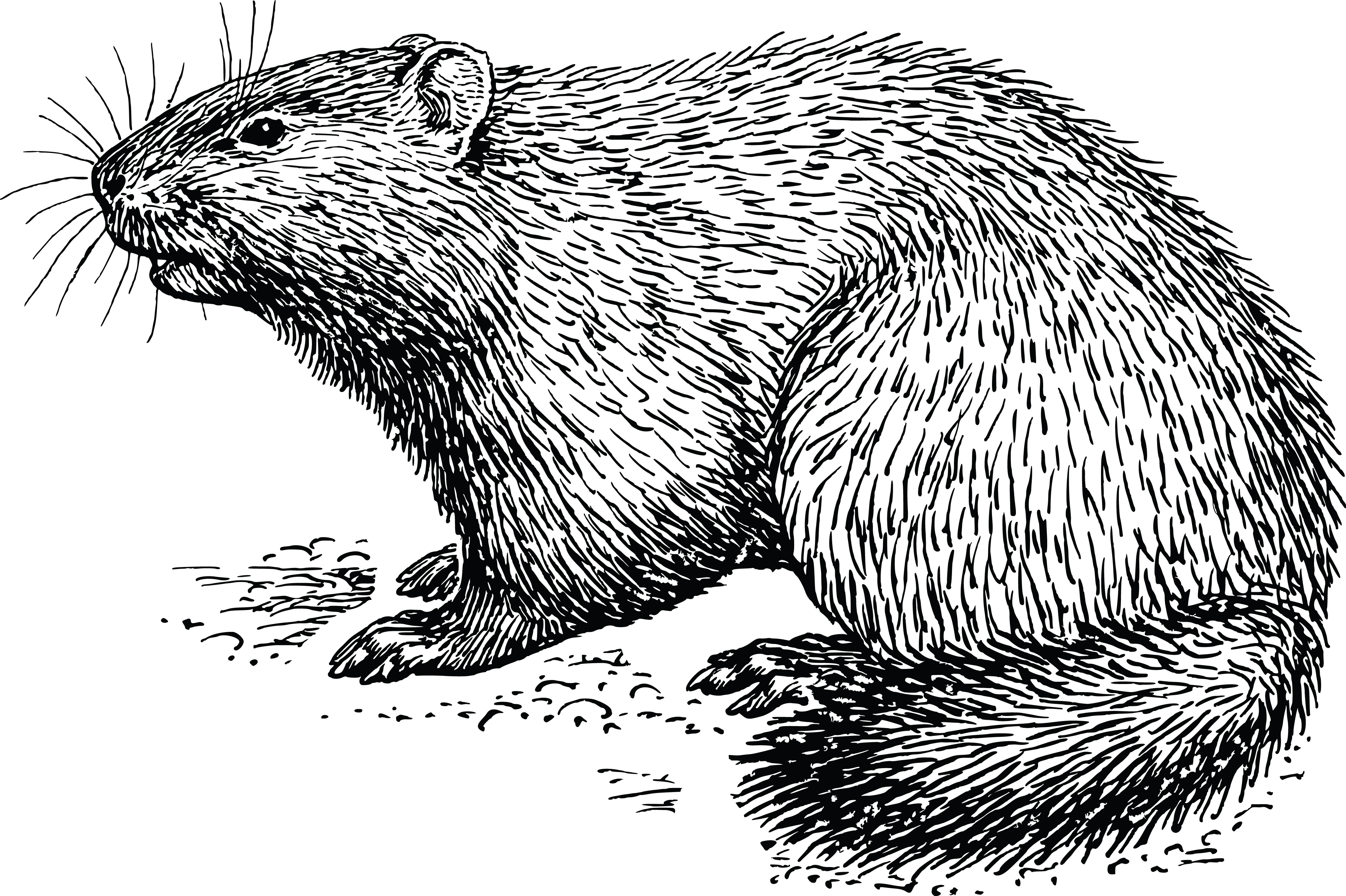 New World Porcupine svg #5, Download drawings