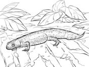 Newt coloring #9, Download drawings