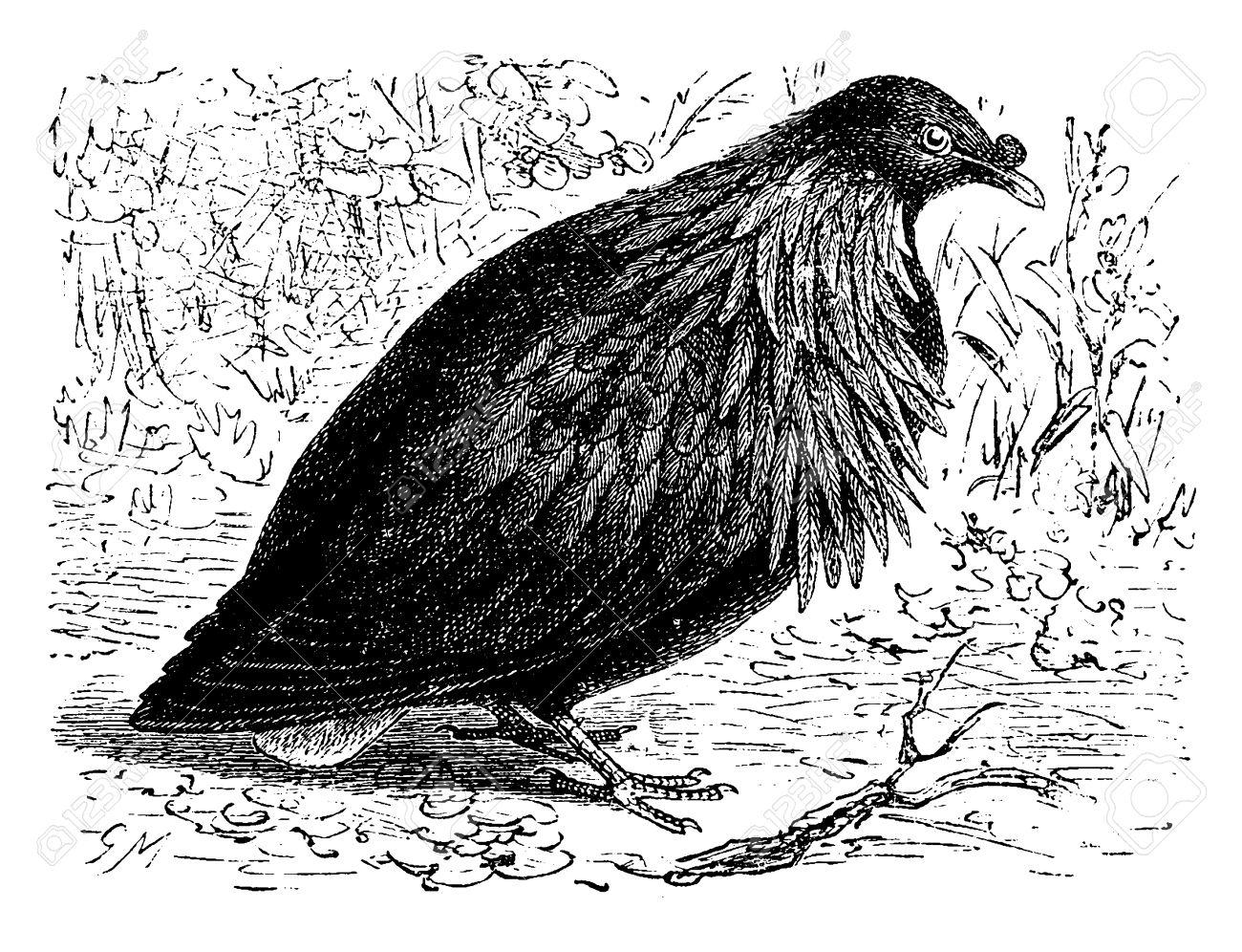 Nicobar Pigeon clipart #8, Download drawings