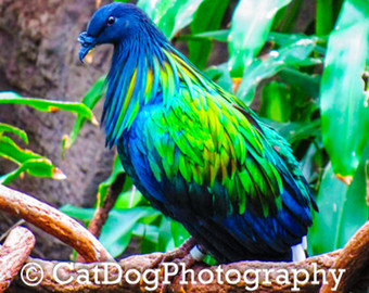 Nicobar Pigeon clipart #14, Download drawings
