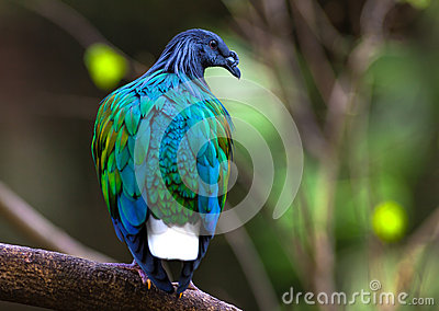 Nicobar Pigeon clipart #15, Download drawings