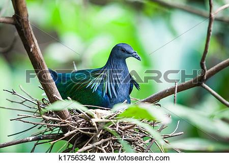 Nicobar Pigeon clipart #1, Download drawings