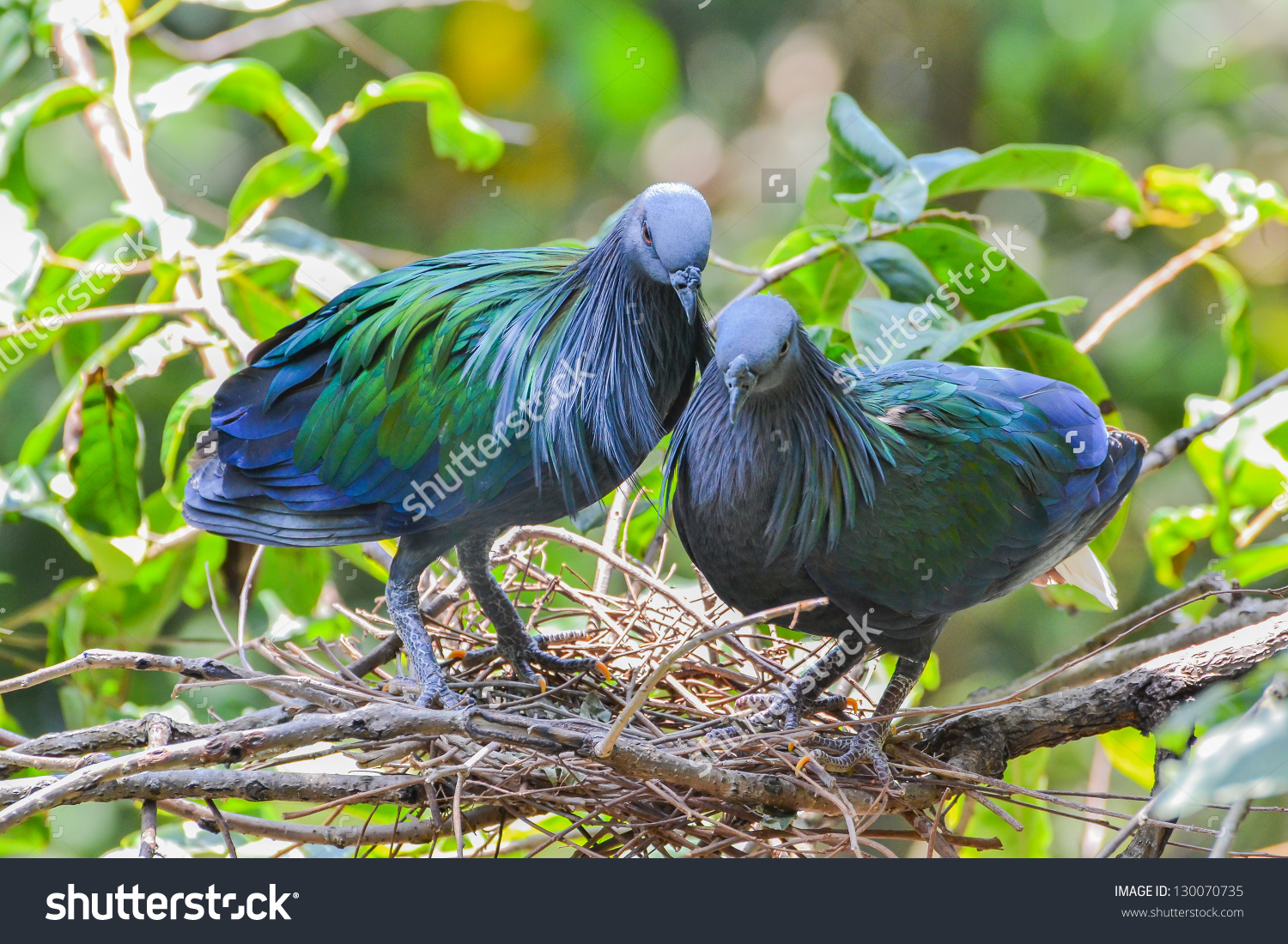 Nicobar Pigeon clipart #16, Download drawings