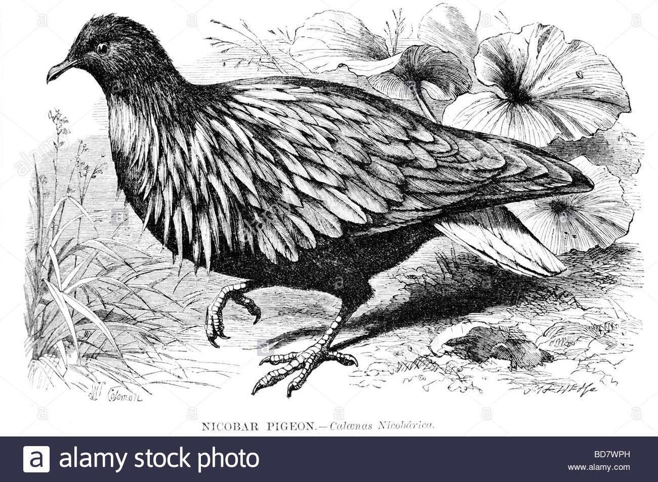 Nicobar Pigeon coloring #11, Download drawings