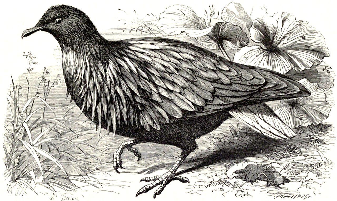 Nicobar Pigeon coloring #7, Download drawings