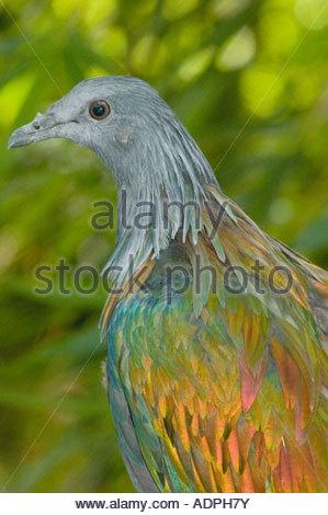 Nicobar Pigeon coloring #10, Download drawings
