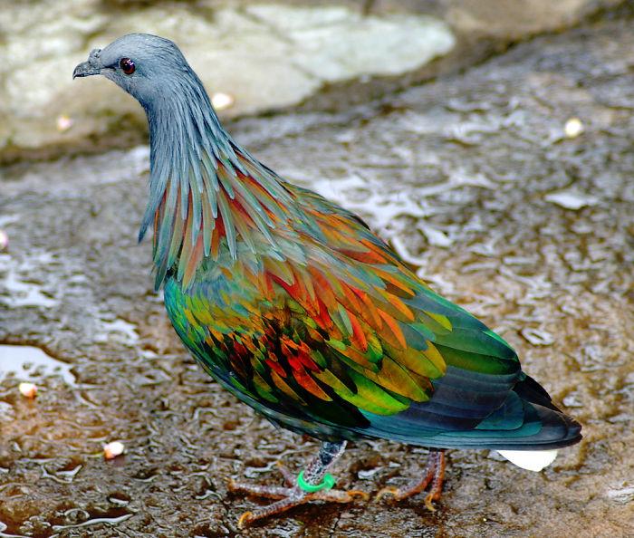 Nicobar Pigeon coloring #6, Download drawings
