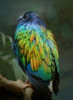 Nicobar Pigeon coloring #18, Download drawings
