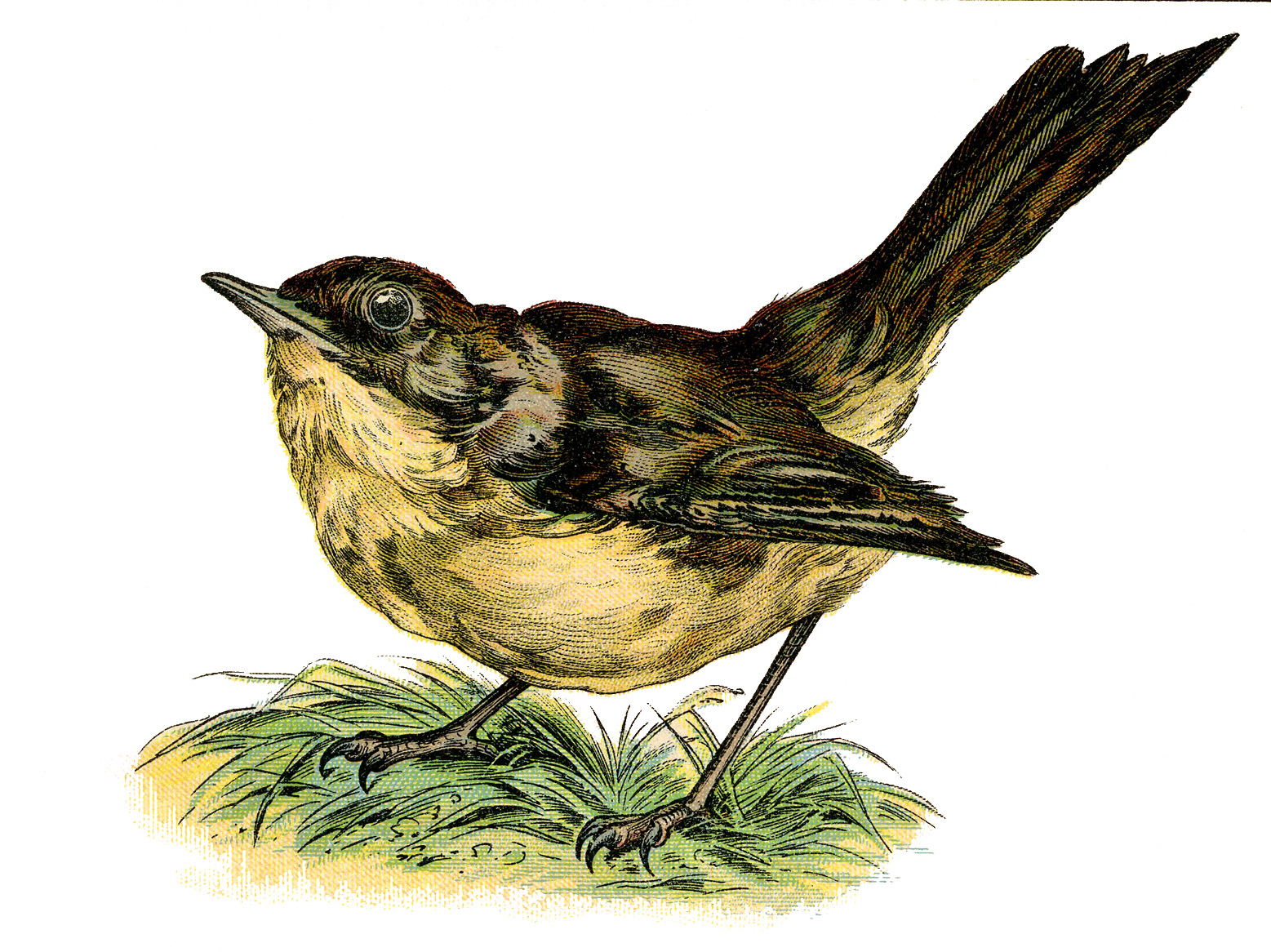 Nightingale clipart #2, Download drawings