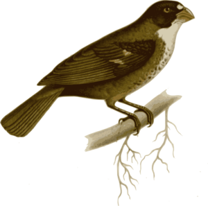 Nightingale clipart #6, Download drawings