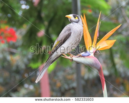 Noisy Miner coloring #19, Download drawings