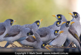 Noisy Miner coloring #8, Download drawings