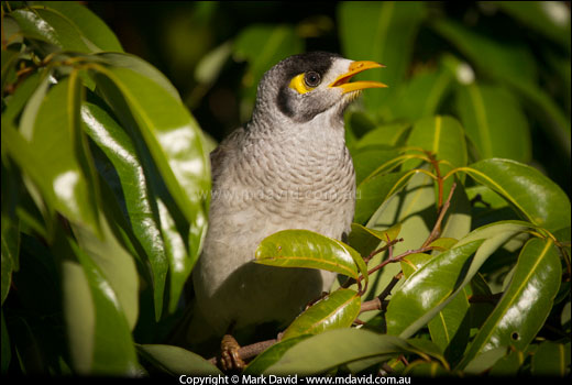 Noisy Miner coloring #1, Download drawings