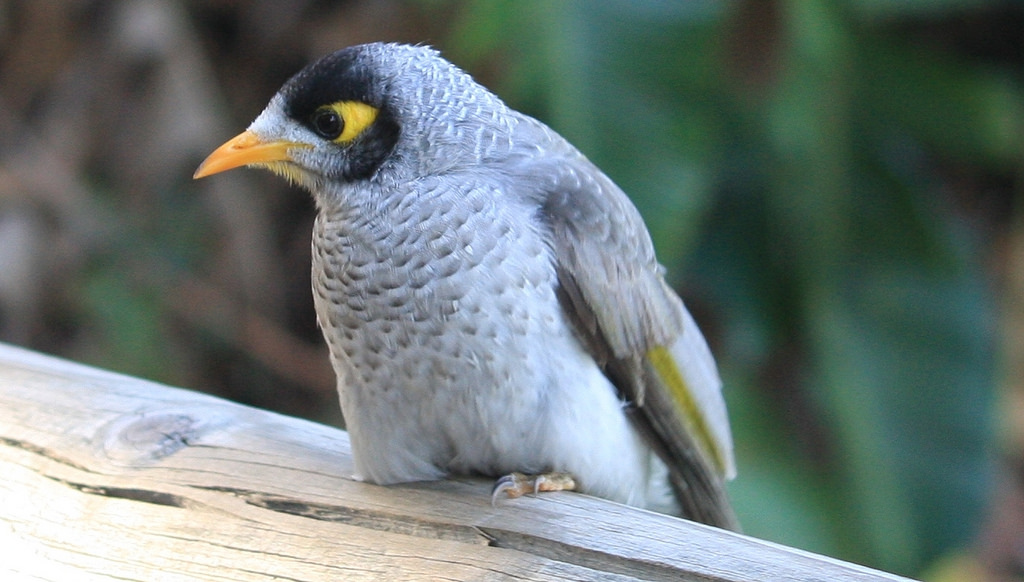 Noisy Miner coloring #7, Download drawings