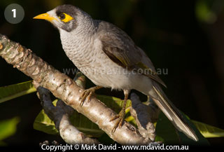 Noisy Miner coloring #5, Download drawings