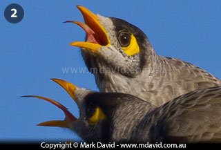 Noisy Miner coloring #10, Download drawings
