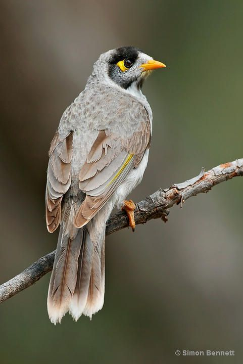 Noisy Miner coloring #16, Download drawings