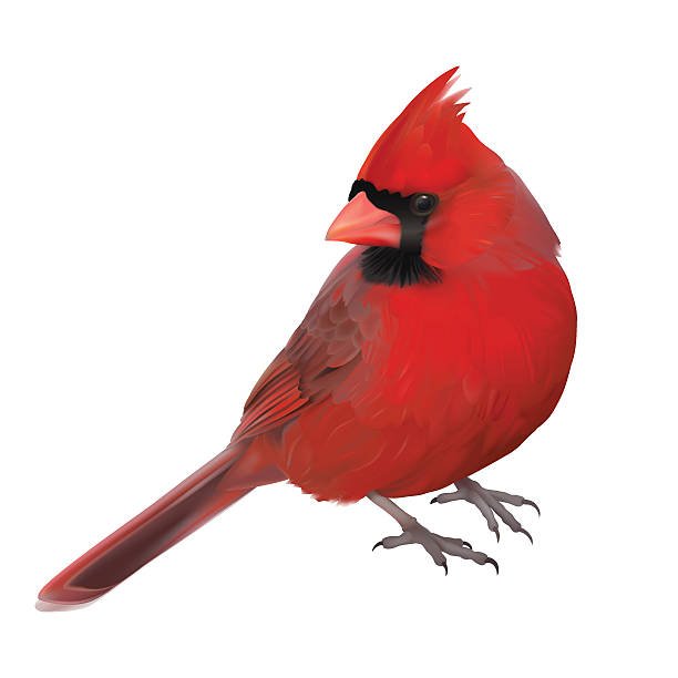 Northern Cardinal clipart #19, Download drawings