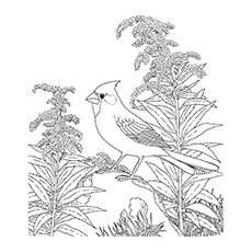 Northern Cardinal coloring #2, Download drawings