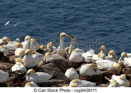 Northern Gannet clipart #11, Download drawings