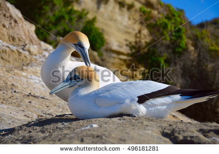 Northern Gannet clipart #18, Download drawings