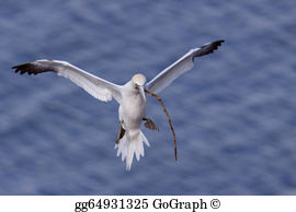 Northern Gannet clipart #2, Download drawings