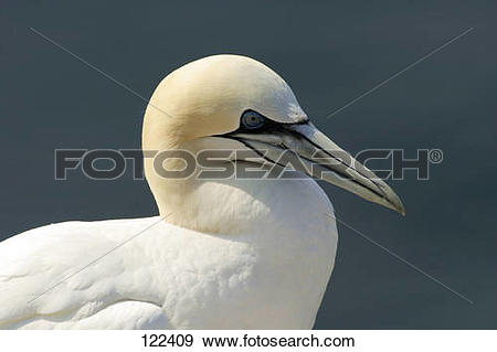 Northern Gannet clipart #10, Download drawings