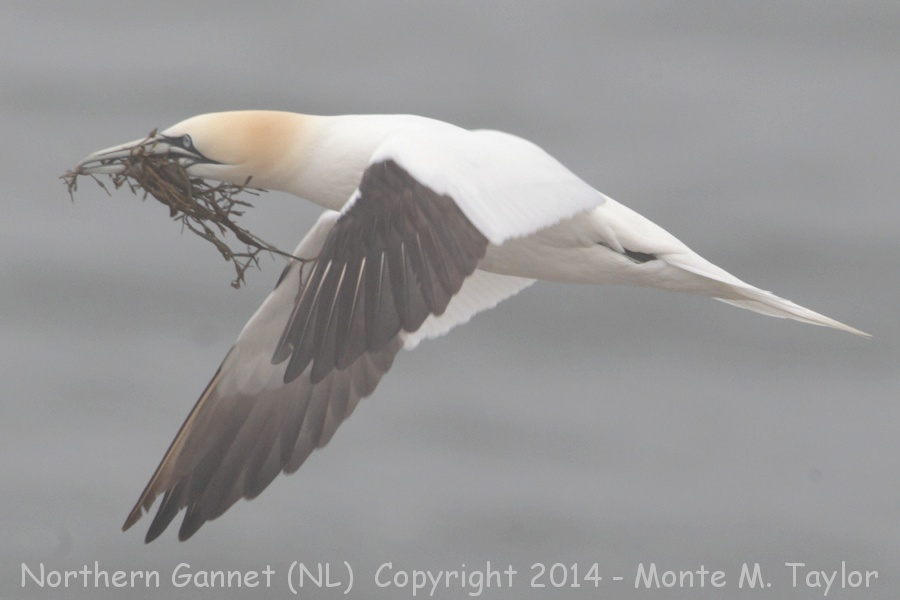 Northern Gannet clipart #7, Download drawings
