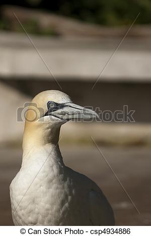 Northern Gannet clipart #4, Download drawings