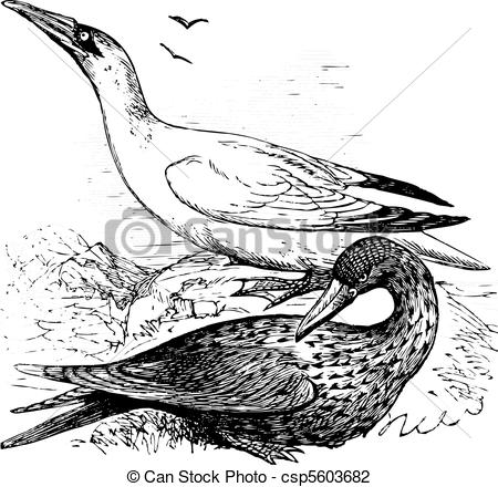 Northern Gannet clipart #5, Download drawings