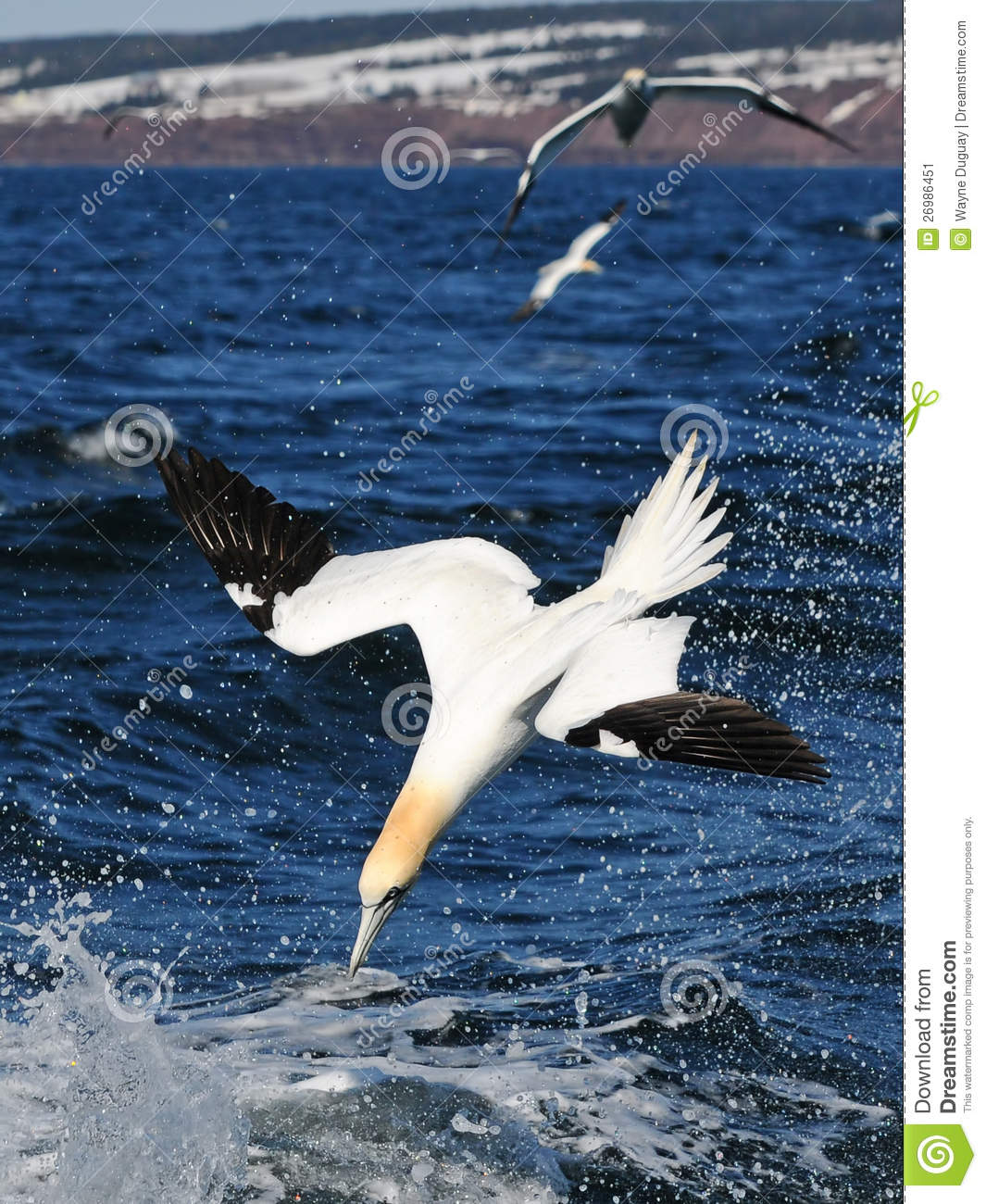 Northern Gannet clipart #15, Download drawings