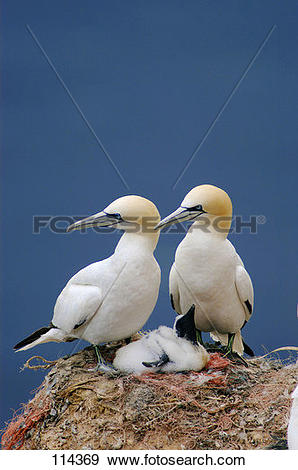 Northern Gannet clipart #6, Download drawings