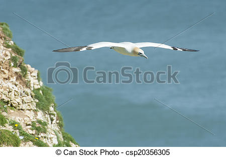 Northern Gannet clipart #9, Download drawings