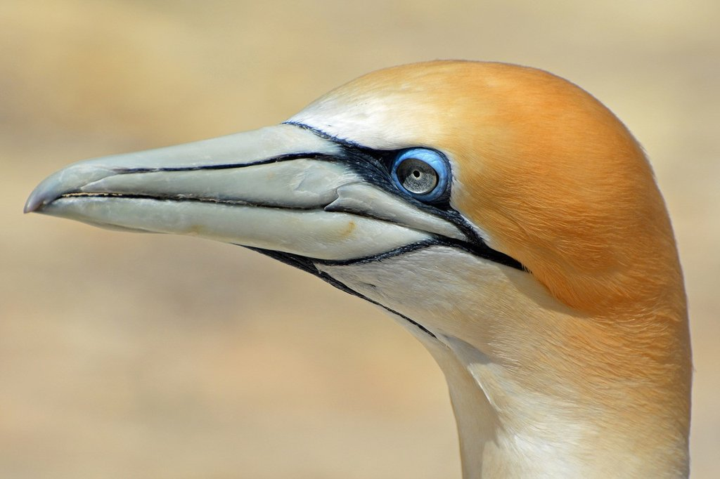Northern Gannet coloring #6, Download drawings