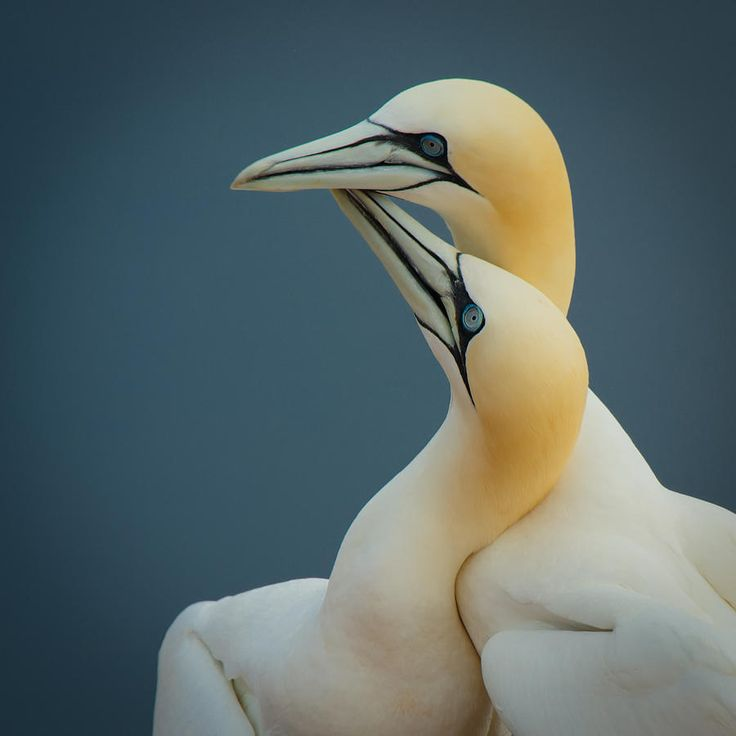 Northern Gannet coloring #9, Download drawings