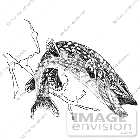 Northern Pike clipart #11, Download drawings