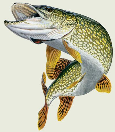 Northern Pike clipart #10, Download drawings