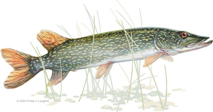 Northern Pike coloring #7, Download drawings