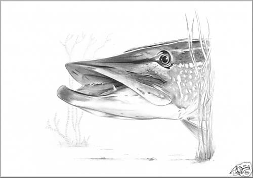 Northern Pike coloring #1, Download drawings