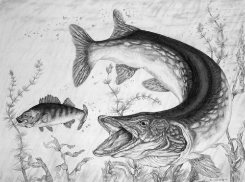 Northern Pike coloring #2, Download drawings